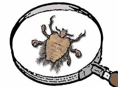 Läuse erkennen, Läuse behandeln: Läuse Bilder Filzlaus