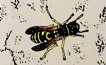 was tun bei Wespenstich- Wespe