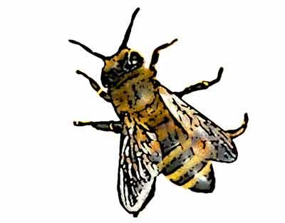 Bienenstich was tun- Honigbiene